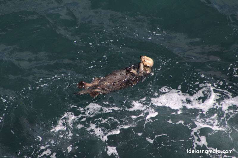 Lontra em Big Sur