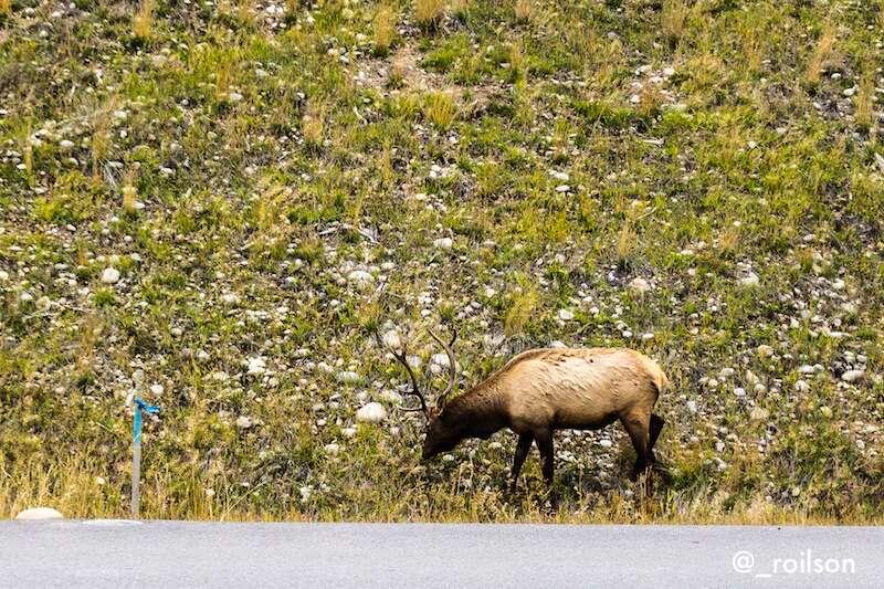 Elk nas montanhas Rochosas do Canadá
