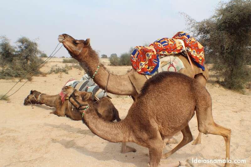Safari de camelos na Índia