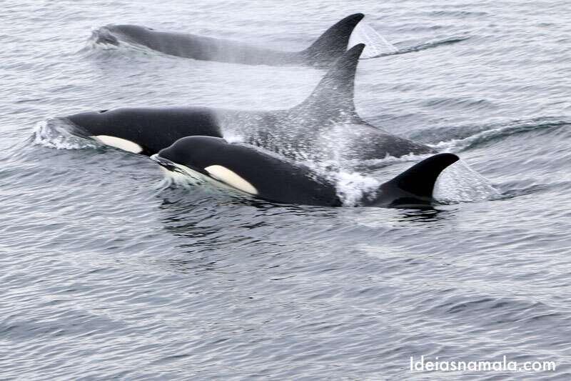Tour para observação de orcas e baleias em Vitoria no Canadá