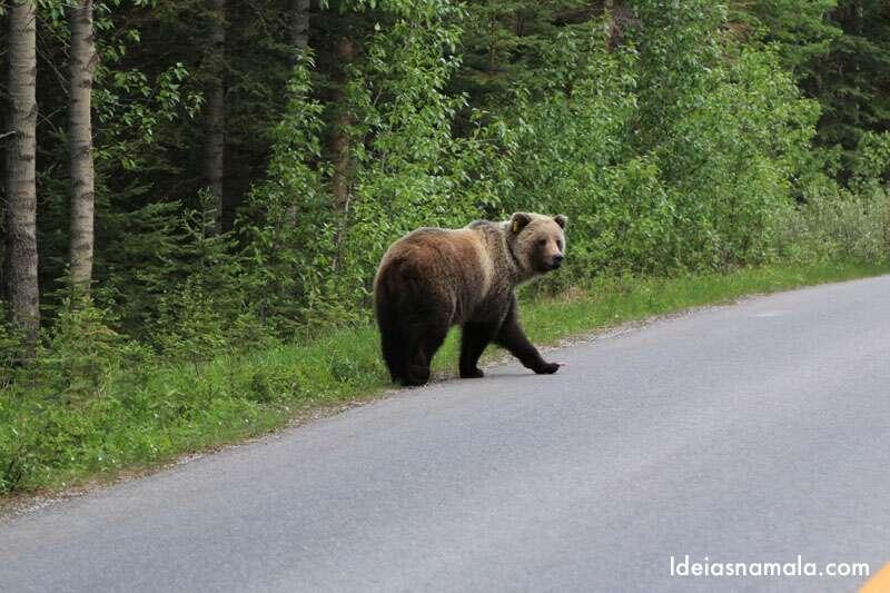 Ver ursos é uma das possiblidades e um dos privilégios deste roteiro pelo Canadá
