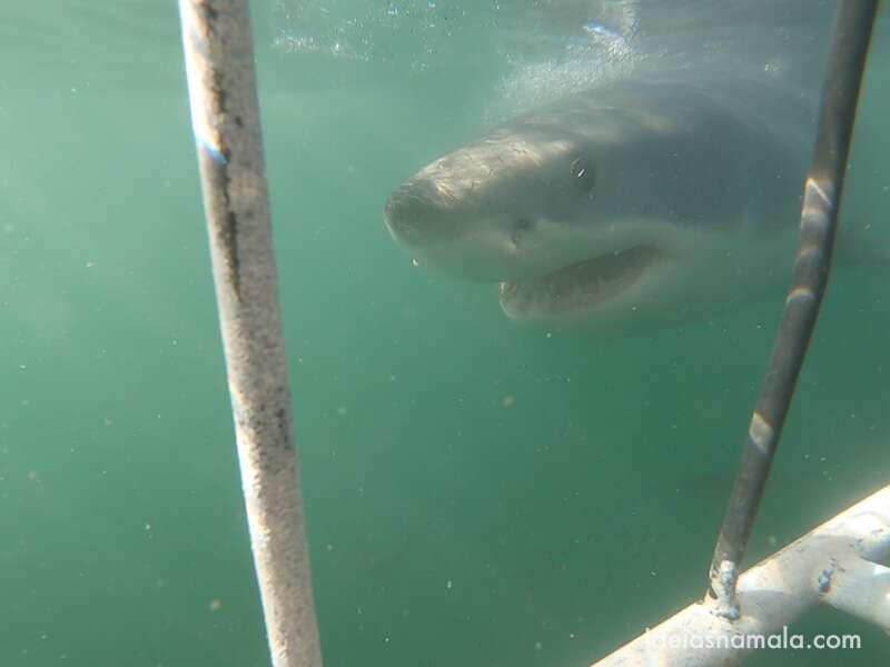 Mergulho com tubarão branco em Mossel Bay