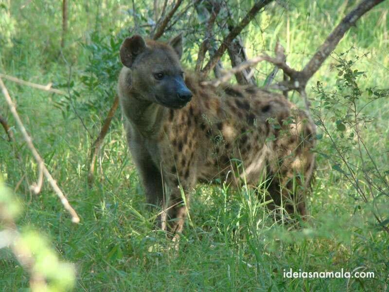 Safári na reserva Thornybush