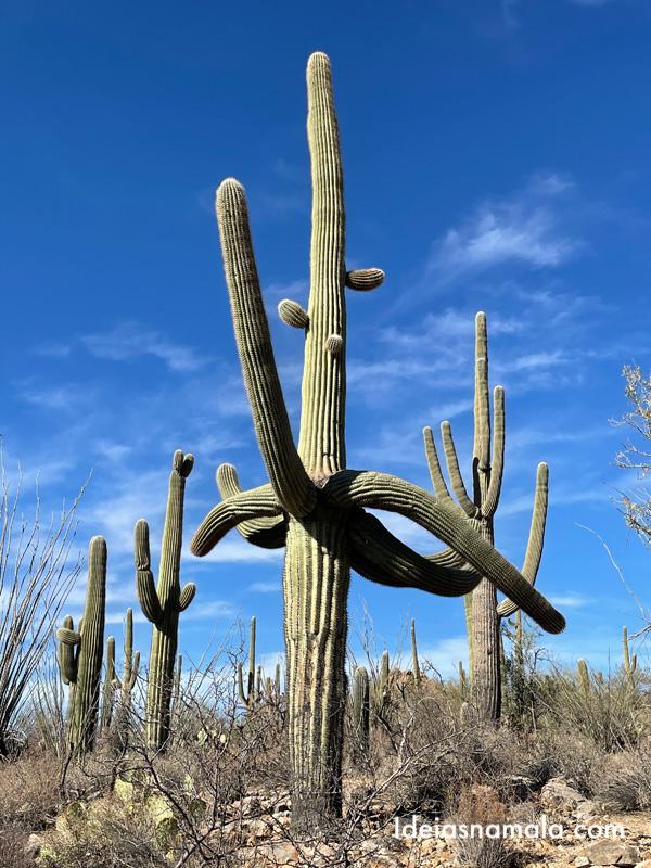 Cactus no Saguaro National Park em Tucson