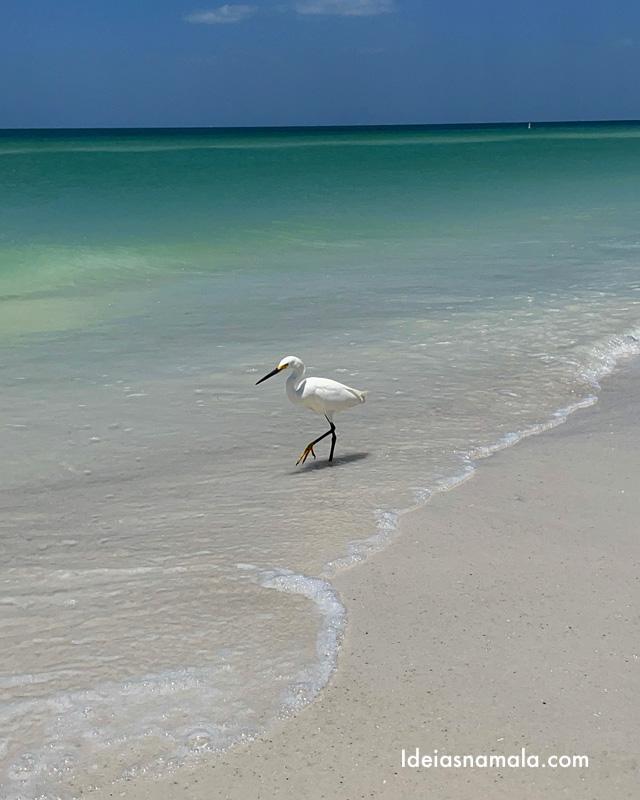 Garça caminhando em Bradenton Beach na Flórida