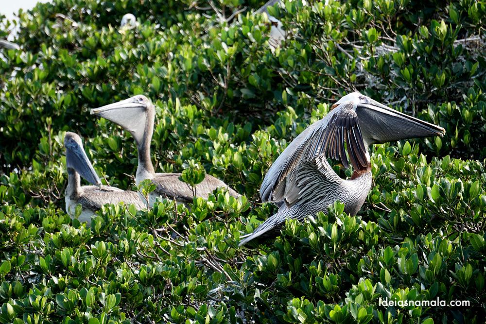 Pelicanos no golfo da flórida